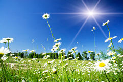Splendid camomiles against blue sky background. Stock Photo