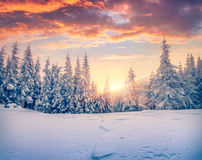 Splendid Christmas scene in the mountain forest. Royalty Free Stock Photos