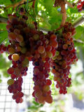 Splendid clusters of red grapes. On branch Stock Image