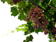 Splendid clusters of red grapes Royalty Free Stock Photography