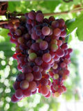 Splendid clusters of red grapes. On branch Royalty Free Stock Photo