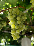 Splendid clusters of white grapes. On branch Royalty Free Stock Image