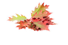 Splendid colorful leaves on a white. Stock Images