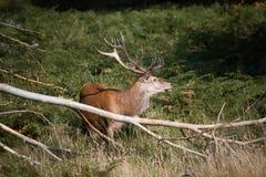 Splendid deer standing in tall grass in Richmond park Stock Photos