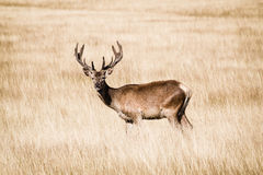 Splendid deer standing in tall yellow grass in Richmond park Royalty Free Stock Photos