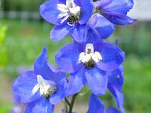 Splendid delphinium Stock Photo