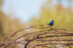 Splendid Fairy Blue Wren Stock Photos