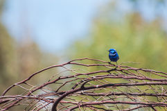 Splendid Fairy Blue Wren Stock Photo
