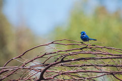 Splendid Fairy Blue Wren Royalty Free Stock Images