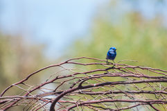 Splendid Fairy Blue Wren Royalty Free Stock Photos