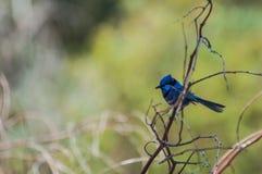 Splendid Fairy Blue Wren. Western Australia Stock Images