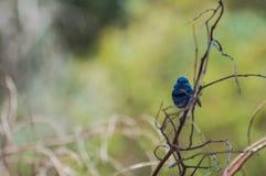 Splendid Fairy Blue Wren Stock Photo