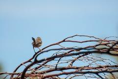 Splendid Fairy Blue Wren Stock Photography
