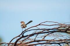 Splendid Fairy Blue Wren. Western Australia Royalty Free Stock Photography