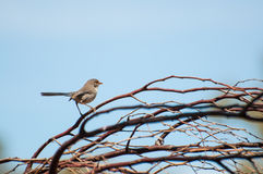 Splendid Fairy Blue Wren. Western Australia Royalty Free Stock Photo