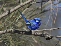 Splendid Fairy wren Stock Image