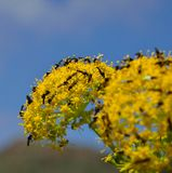Splendid fennel flowers covered with small insects Stock Images