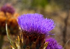 Splendid flower of wild artichoke. In foreground, early summer Royalty Free Stock Photos