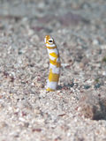 Splendid garden eel Stock Photos