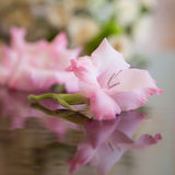 Splendid graceful gladioli. Splendid fresh single graceful bloom of pink gladioli cornflag flower fragrant plant with reflection on glassy surface pretty Royalty Free Stock Photography