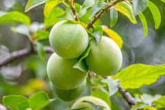 Splendid green plums hanging from a small branch, among leaves a Royalty Free Stock Photos
