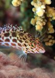Splendid hawkfish Stock Photos