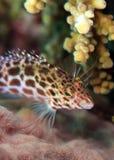 Splendid hawkfish. On coral reef hiding among coral Stock Photos