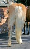 Splendid Horse Tail 1 Stock Photos