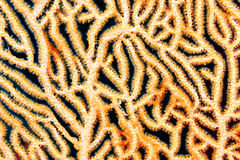 Splendid knotted gorgonian Royalty Free Stock Photos