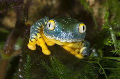 Splendid leaf frog (Cruziohyla calcarifer) Stock Image