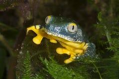 Splendid leaf frog (Cruziohyla calcarifer) stock photography