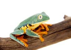 The splendid leaf frog on white. The splendid leaf frog, Cruziohyla calcarifer, isolated on white background Stock Photography