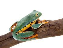 The splendid leaf frog on white. The splendid leaf frog, Cruziohyla calcarifer, isolated on white background Stock Images