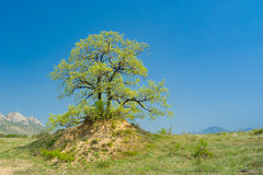 Splendid lonely oak on a hill against cloudless sky Royalty Free Stock Images