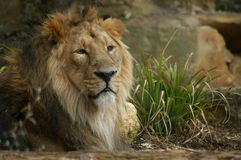 Splendid Male Asistic Lion  Stock Photos