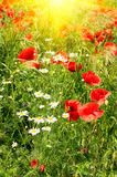 Splendid meadow by summer. Stock Images