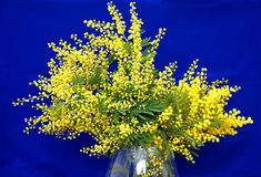 Splendid mimosa bouquet. Splendid  mimosa bouquet in vase on blue background Royalty Free Stock Image