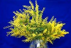 Splendid mimosa bouquet Royalty Free Stock Image