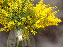 Splendid mimosa bouquet in vase Royalty Free Stock Image
