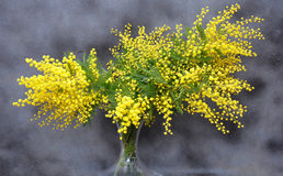 Splendid mimosa on vase Royalty Free Stock Photo