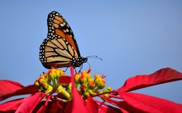 Splendid monarch butterfly. Poinsettia and monarch butterfly with blue sky background stock images