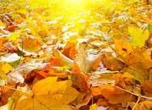 Splendid morning view of autumn leaves. Stock Image
