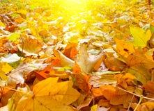 Splendid Morning View Of Autumn Leaves. Stock Image