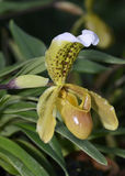 Splendid Paphiopedilum Slipper Orchid Royalty Free Stock Photography