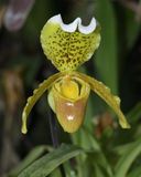 Splendid Paphiopedilum Slipper Orchid Royalty Free Stock Photo