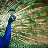 Splendid peacock Royalty Free Stock Photos