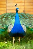 Splendid peacock with feathers out Royalty Free Stock Photos