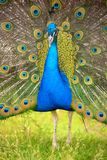 Splendid peacock with feathers out Stock Photos