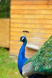 Splendid peacock with feathers out Royalty Free Stock Photo