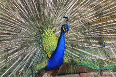 Splendid peacock with feathers out (Pavo cristatus) Stock Photo